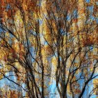 Lot 23 - Autumn Tree 1